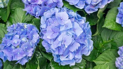 Zelfklevend Fotobehang Hydrangea Blue hydrangea flower in a garden.