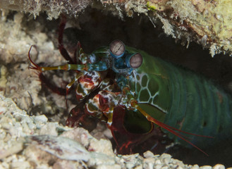 The Peacock Mantis Shrimp(Odontodactylus scyllarus) near Sipadan Island, Malaysia