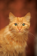 fluffy red beautiful cat