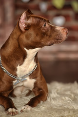 brown with white pit bull terrier