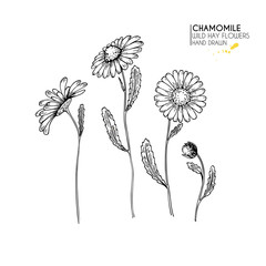 Hand drawn wild hay flowers. Chamomile or daisy flower. Vintage engraved art. Botanical illustration. Good for cosmetics, medicine, treating, aromatherapy, nursing, package design, field bouquet.
