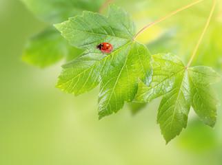Decorative background with ladybug on maple leaves.