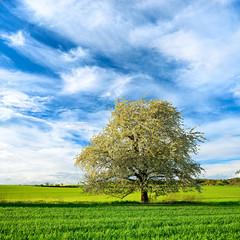 Fototapete - Landschaft im Frühling, Großer Kirschbaum blüht, grüne Felder, blauer Himmel mit Wolken