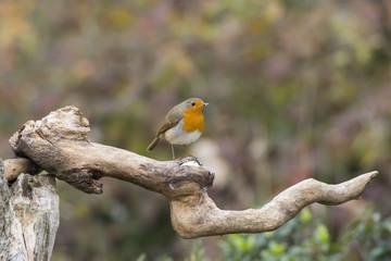little robin bird in Cisliano in Italy