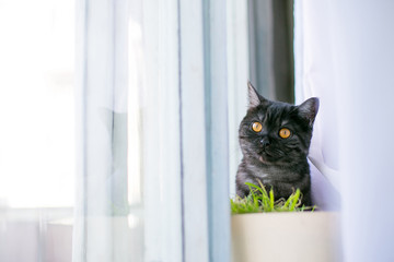 at looks out of hiding, surprise, hunting, fright, sunlight from the window, yellow eyes, British black. Place for the inscription of the text behind the bush, grass, on the windowsill, curtains
