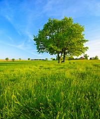 Fototapete - Grüne Wiese mit zwei Eichen unter blauem Himmel im Frühling, Abendlicht