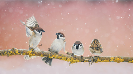 Wall Mural - angry funny little birds sparrows sitting on a branch in the Park and fight in the early spring