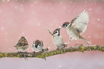 Wall Mural - wicked funny little birds sparrows sitting on a branch in the Park and fight in the early spring