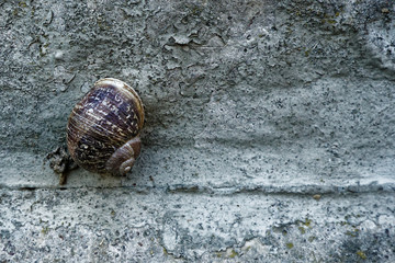 Snail on a rough cement wall, animal background