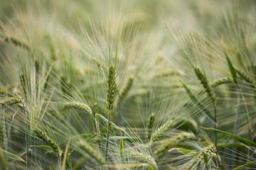 Fotoväggar - im Innern eines Getreidefeldes
