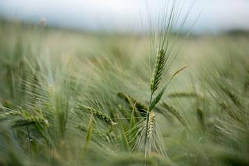 Fotoväggar - Makro im Getreidegeld