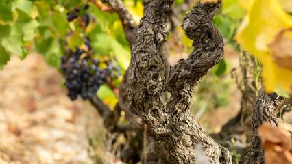 vigne raisin vignoble