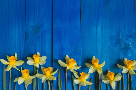 Yellow flowers daffodils on blue wooden table. Beautiful Colorful Greeting Card for Mothers Day, Birthday, March 8. Top view,