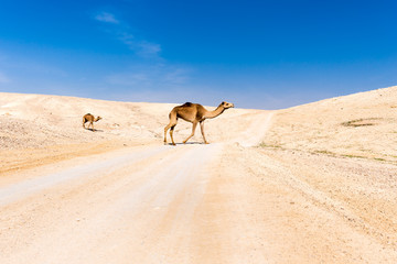 Fototapete - Two camels crossing desert road pasturing, Dead sea, Israel.