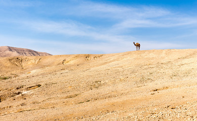 Wall Mural - Camel standing top desert mountain ridge, Israel.