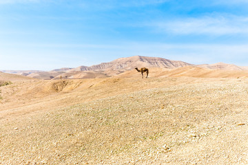 Fototapete - Two camels standing desert mountain ridge, Israel.