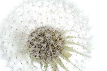 White Dandelion (Taraxacum Officinale) Flower Close-up