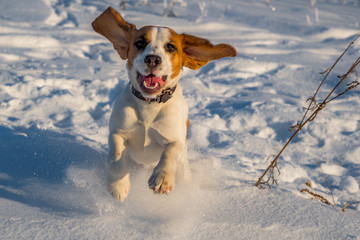 The Beagle runs in the snow. puppy in nature. hunting dog running through the woods. thoroughbred puppy Beagle walks in the woods. dog breed with large ears and red face