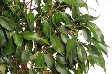 Weeping Fig (Ficus Benjamina) Leaves