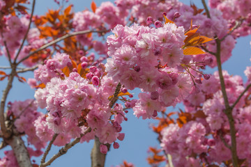 Branches of blossoming pink Japanese cherry tree with blue sky background in sunny spring day on the Atlantic coast of France