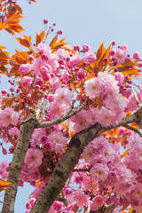 Branches of blossoming pink Japanese cherry tree in sunny spring day on the Atlantic coast of France