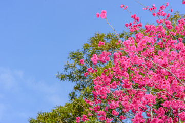 Taiwan cherry with blue sky and white cloud in spring