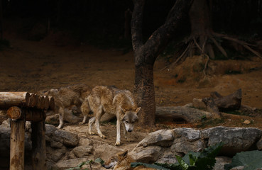 wolves  feeding  in  the zoo