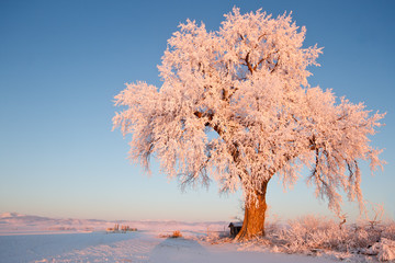 Frosted Ice Lone Winter Tree at Glowing at Sunrise