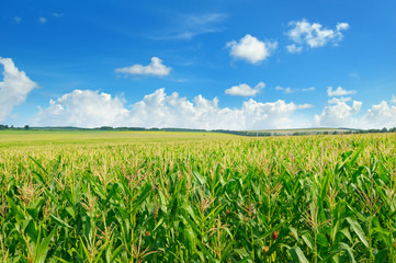 Garden Poster Culture Green corn field and blue sky.