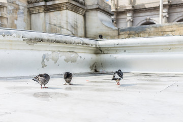 Three wet pigeons in urban city standing grooming fluffing feathers