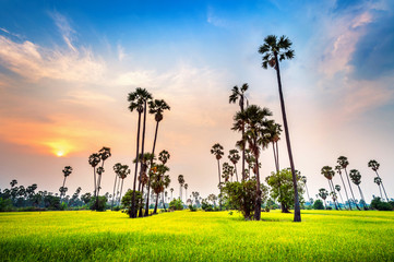 Wall Mural - Landscape of Sugar palm and rice field at sunset.