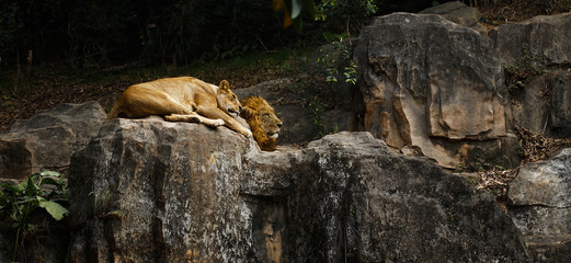 Lions kept in the zoo