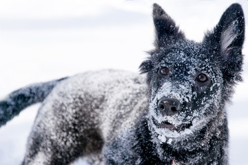 .Playful black dog close-up on white snow in winter. All in the snow