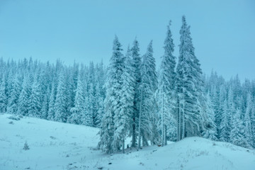 Snowy pine forests