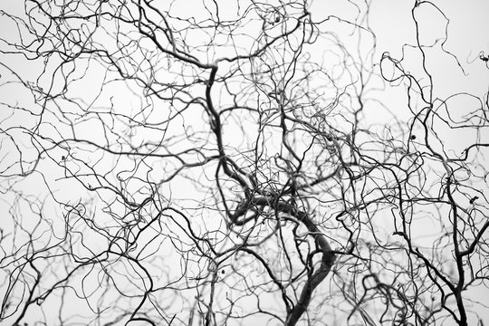 Tangled structure of thin twisted tree branches resemble a network of veins and arteries. Spindly tree branches form a complicated fractal pattern silhouetted against neutral grey background.