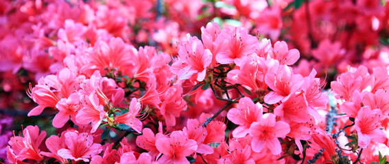 Pink azalea background.