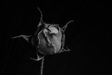 Rosebud in black and white