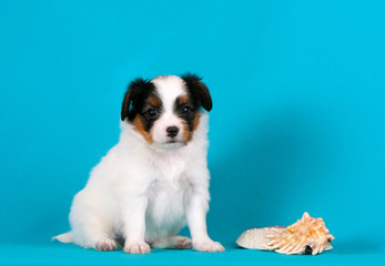 A cute, white puppy poses next to a shell. A small dog sits on a blue background in the studio. Fallen is tiny and beautiful. The concept of summer holidays at sea. Continental Toy Spaniel
