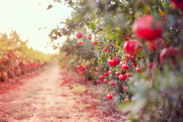 Blurred alley in the garden with ripe pomegranate fruits hanging on a tree branches. Harvest concept. Sunset light. soft selective focus, space for text.