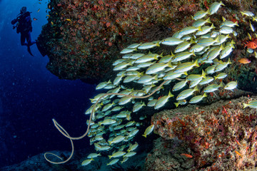 scuba diver silhouette and school of yellow Snapper Lutjanidae while diving maldives