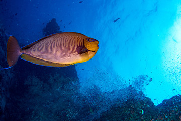 yellow Snapper Lutjanidae while diving maldives