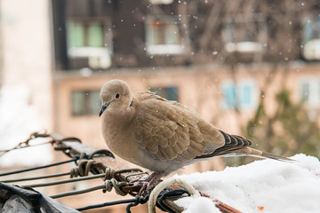 turtledove poses on the snow