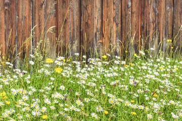 Margeritenblüte an einer sonnigen Bretterwand