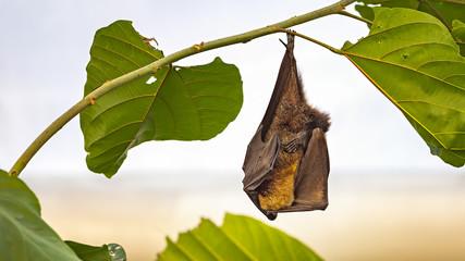 Flying Fox bat hanging from branch