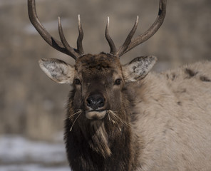 Bull elk eating in Yellowstone