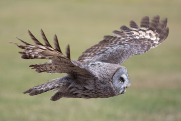Owl flying. Great grey owl in level flight. Beautiful bird of prey.