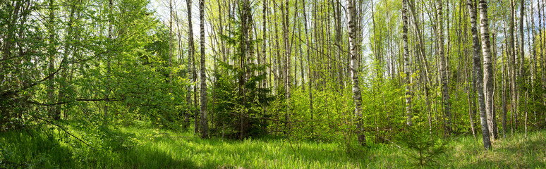 Wall Mural - birch forest panorama in summer. Sun in the park