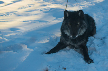 A Black Tundra Wolf in a Snowy Forest