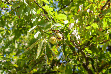 Autumn thorny chestnuts hang on a tree