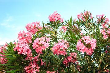 pink flowering Bush with oleander flowers